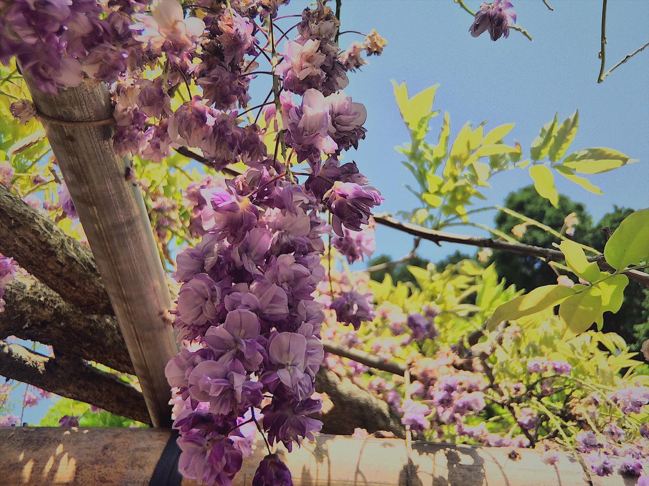 Kawachi Wisteria Flower