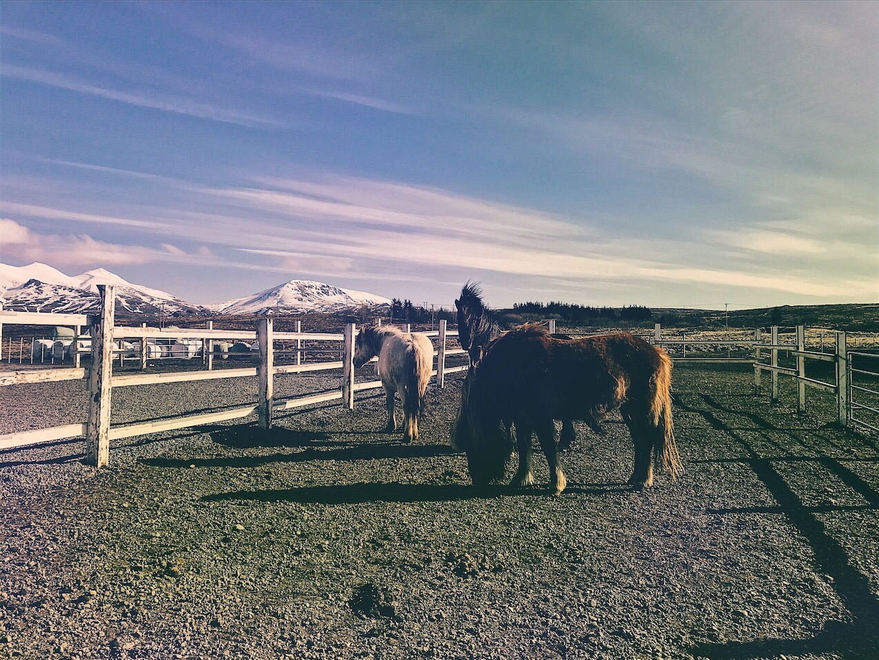 Game of Thrones Icelandic Horses