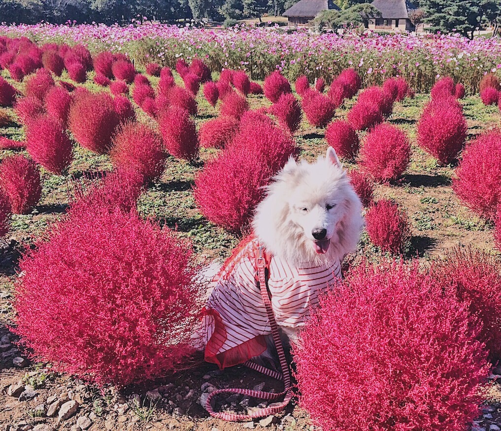 Cute dog at Hitachi Seaside Park Ibaraki Japan