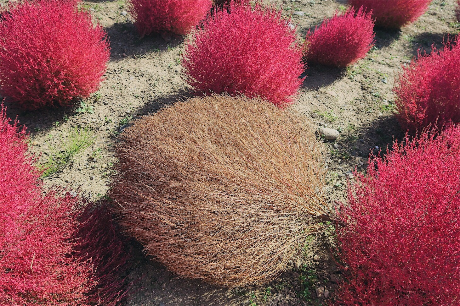 Autumn Kochia Plant Hitachi Seaside Park Ibaraki Japan